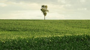 A Lonely Tree in an Iowa Cornfield (courtesy Transcendental Media)