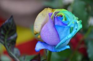 rosa-622522_1280