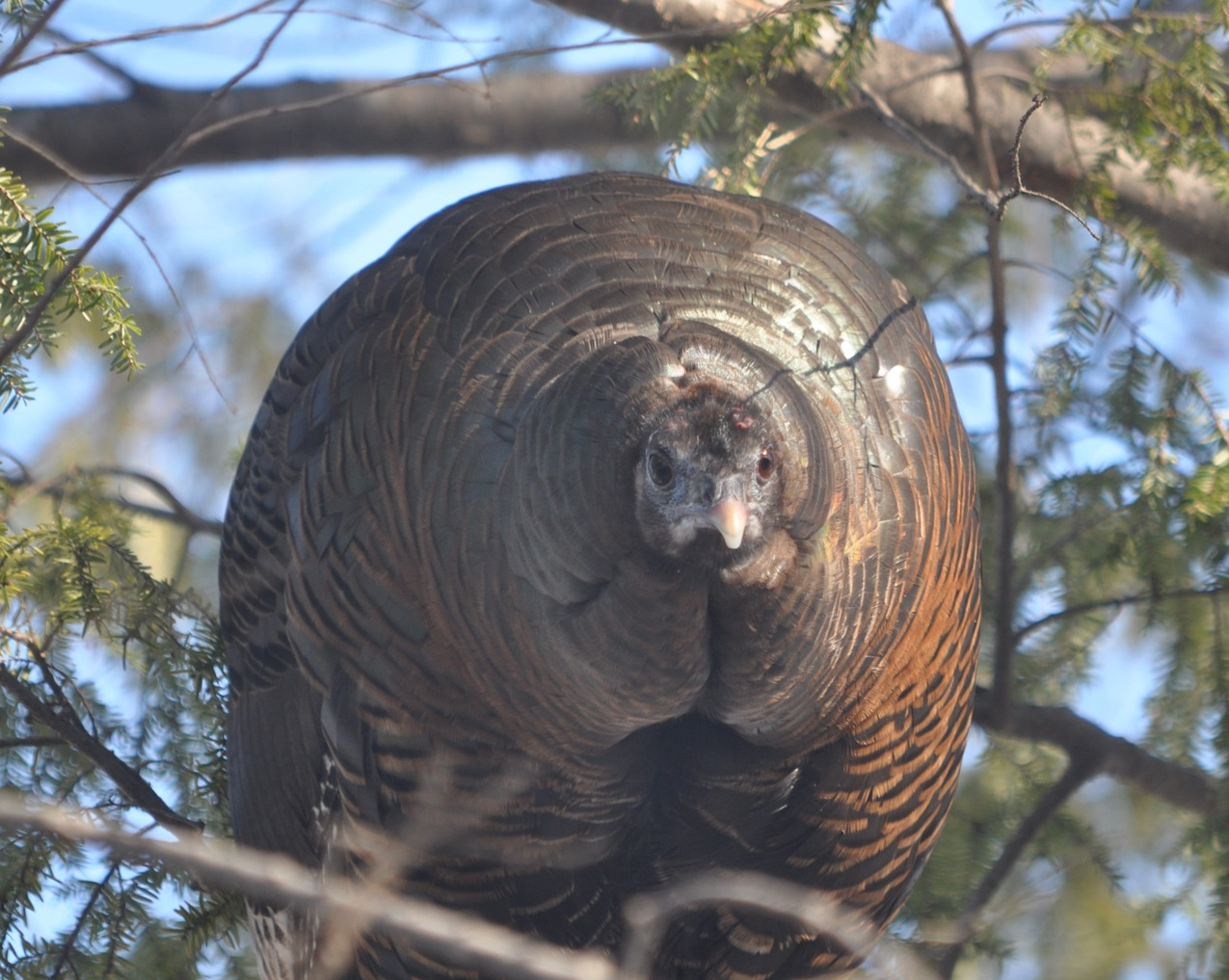 Turkey in a Hemlock Tree - My Review of Atheos
