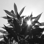Marijuana in Black and White