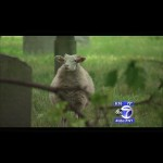 New York City Church Replaces Retired Groundskeeper with Sheep