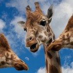 Giraffes talking