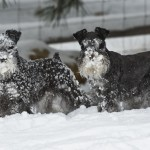Not panzer-schnauzers.  Panzer-schnauzers are tropical, and (except for the beard) have short coats.