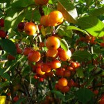 Genus: Tree.  Specific Difference: Bearing Apples.  Species: Apple Tree.