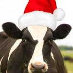 O Christmas Cow!