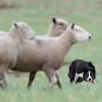 Fr. Ronald Knox on Sheepdogs and the Clergy