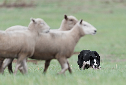 A sheep dog enjoying his job.