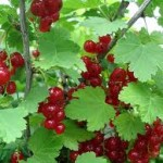 A red currant bush