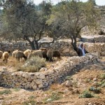 Shepherd with flock near modern town of Bethlehem