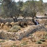 Shepherd with flock near modern town of Bethlehem