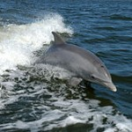 Another bottlenose dolphin