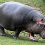 "A Nilpferd or ""Nile horse"" (also known as a ""river horse"" or ""hippopotamus"")"