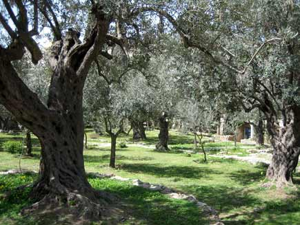 amid the ancient olive trees