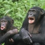 Bonobo X 2
