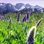 A lupine meadow