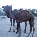 Two camels, posing