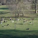 Deer in Oxford