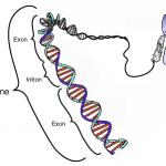 A schematized gene