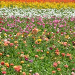 SoCal flowers