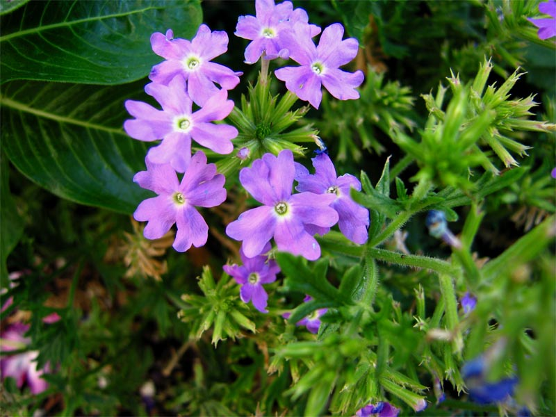 Purple flowers at Temple Square