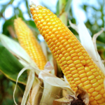 GMOs Are Found Safe for Human Consumption, Again