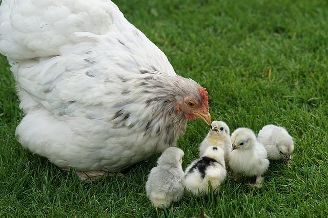 Poultry Cochin Zwergcochin Hen Chicken Chicks
