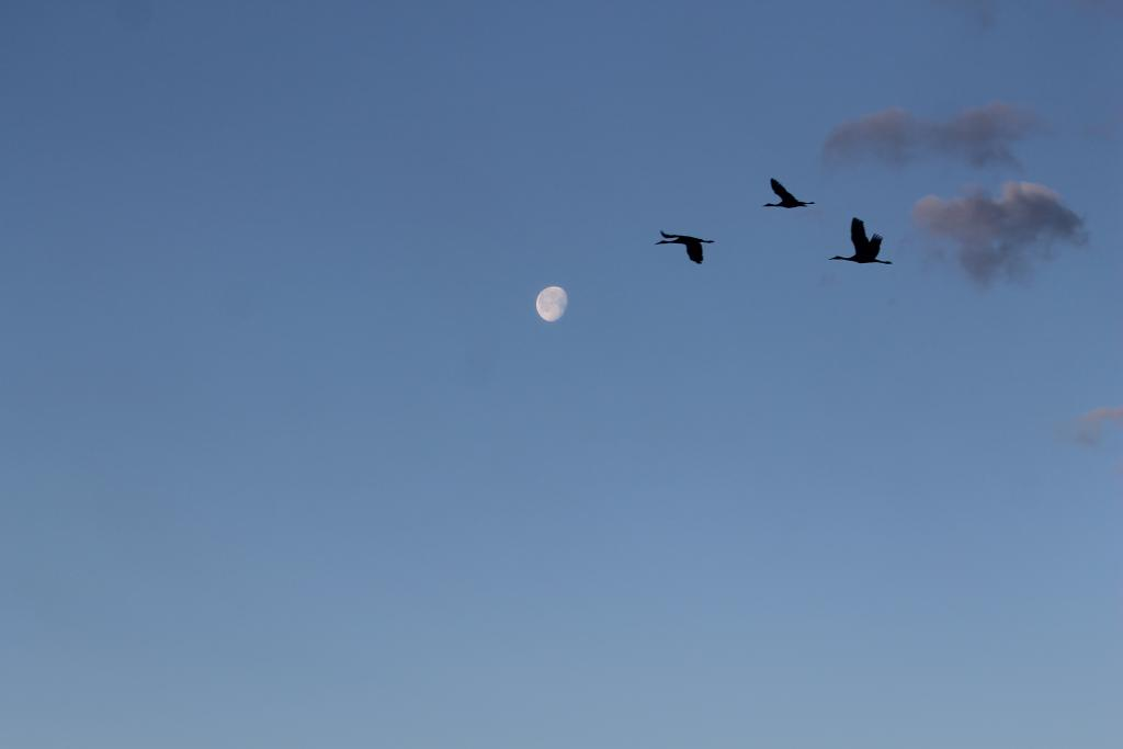 sandhill cranes think on these