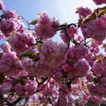 Photo Sunday: Sakura