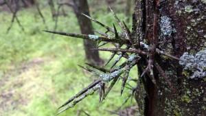 2017 locust thorns