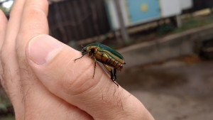 2017 june beetle on hand