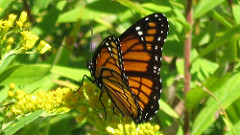 Monarch butterfly (Public domain)