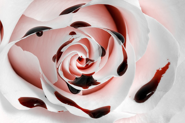 Blood Rose by Nicolas Raymond. Some rights reserved. flickr.com