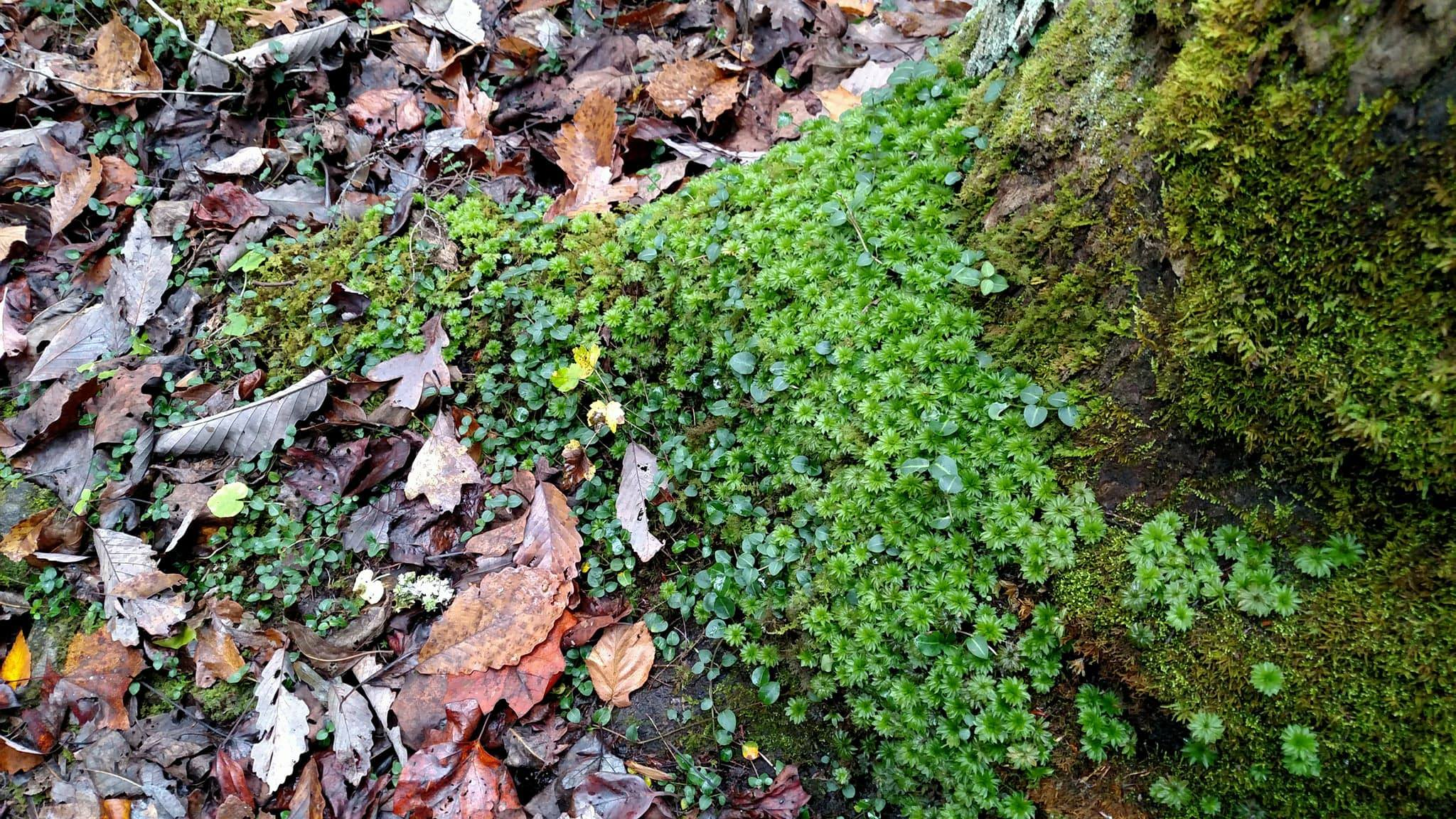 Cedum growing on tree trunk, Blanton Forest. Photo by Leah D. Schade. All rights reserved.