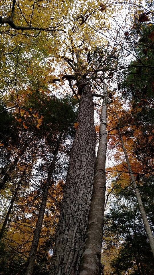 Chestnut Oak, Blanton Forest, Ky. Photo credit: Leah D. Schade. All rights reserved.