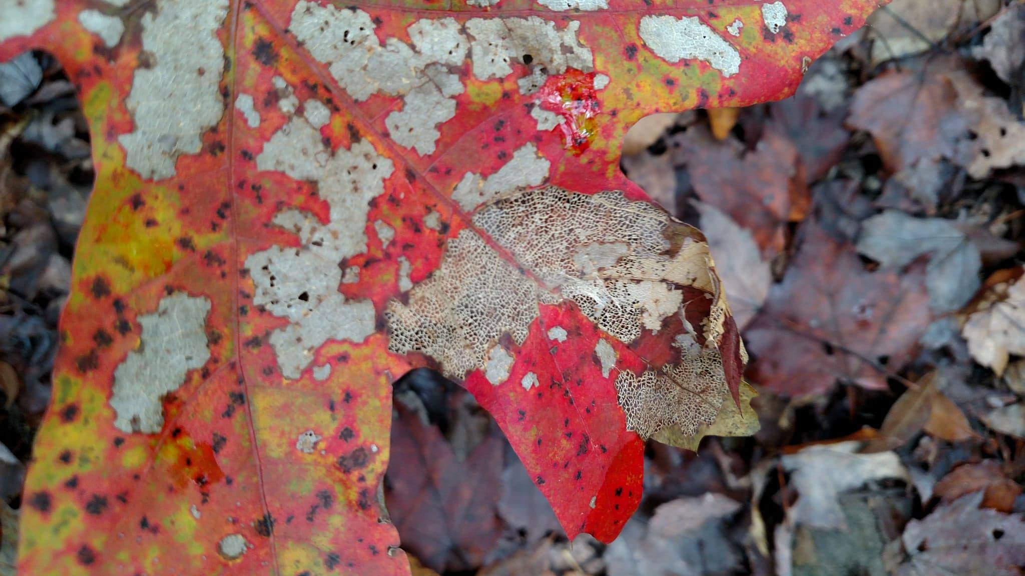 Lacy autumn leaf in Blanton Forest, Ky. Photo credit: Leah D. Schade. All rights reserved.