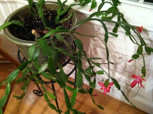 Lessons from a Christmas Cactus