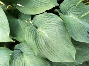 [Snapshots from Oak Ridge] Instead of the Loaves & Fishes, the Hosta & Hydrangeas