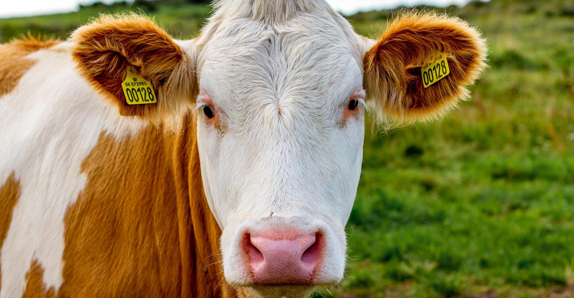 cow-2710083_1920