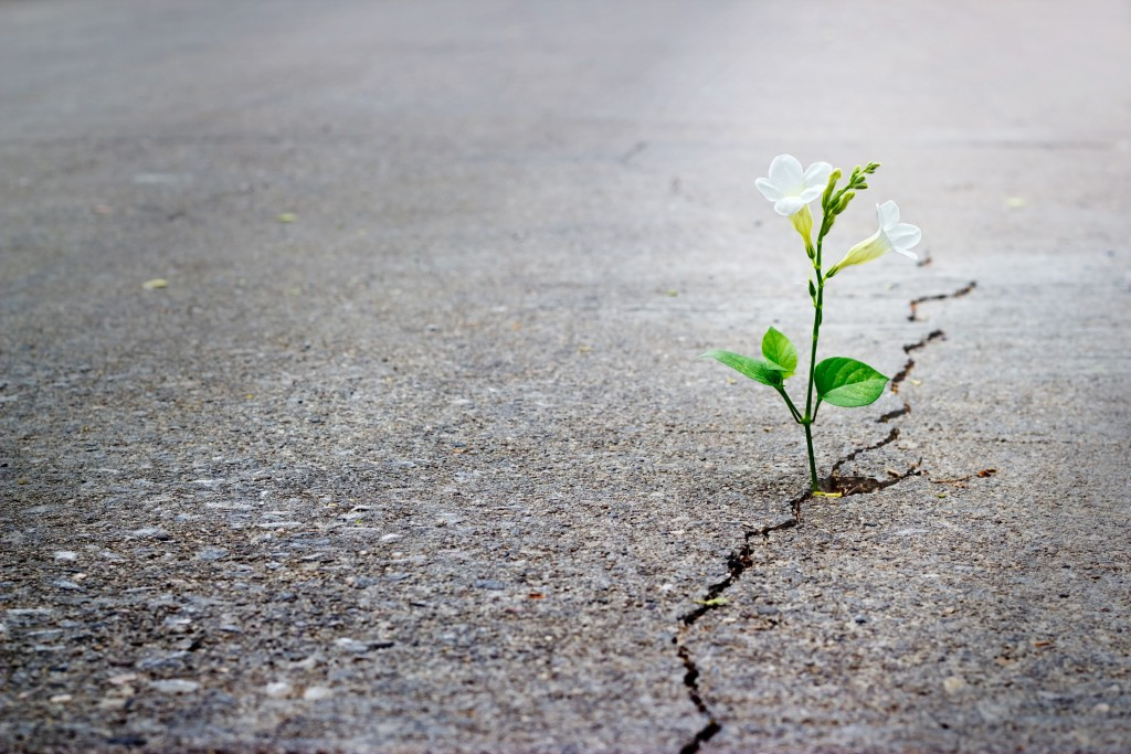 white flower growing on crack street, soft focus.