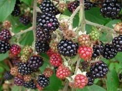 ripening-blackberries