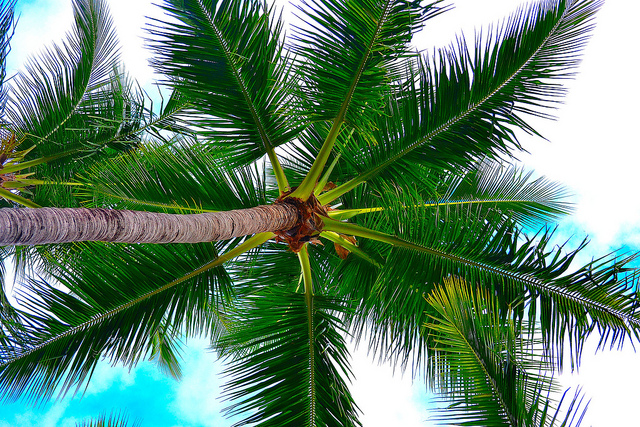 Palm Tree, by Esteban Alvarez. Flickr Commons.