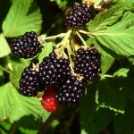 Sweet Blackberry Nostalgia Greets Summer's Grand Trine in Water