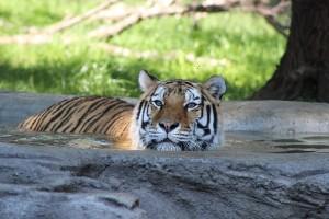 tiger-455804_640