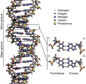 492px-DNA_Structure+Key+Labelled.pn_NoBB