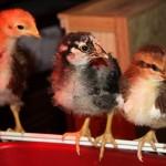 ChickensAllThree2