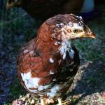 Amber the Chicken