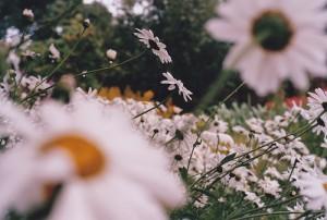 Daisy Yard