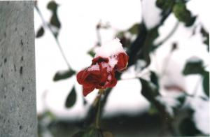 winter rose by Martin Lopatka on flickr