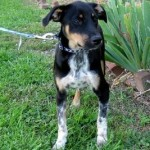 Featured Shelter Pet: Luke, the English Foxhound & Australian Cattle Dog