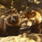 Raccoon Dog at Fukuyama, Hiroshima prefecture, Japan